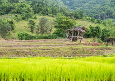 Hut and rice green field Royalty Free Stock Photos