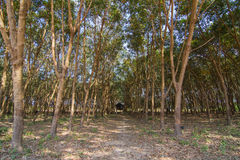 Hut among row of rubber trees Royalty Free Stock Photo