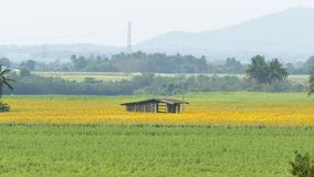 Hut at sunflowers bloom fields. Hut at sunflowers bloom fields in autumn at Thailand stock video footage