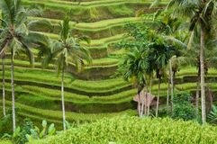 Hut in terrace rice field Royalty Free Stock Photography