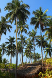 Hut under coconut palms Royalty Free Stock Photo