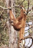 Hutan orang-oetan stock afbeelding