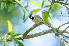 Free Huthatch Bird Nut Pecker In The Wild On A Tree Royalty Free Stock Image - 123189506