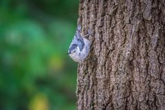 Huthatch bird nut pecker in the wild on a tree royalty free stock images