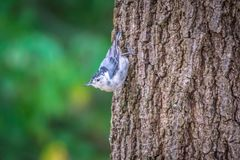 Huthatch bird nut pecker in the wild on a tree royalty free stock image