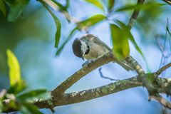 Huthatch bird nut pecker in the wild on a tree royalty free stock photo