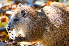 Hutia Royalty Free Stock Image