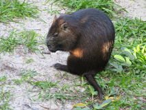 Hutia in Cayo Levisa off Cuba Stock Photography