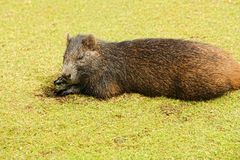Hutia konga Royalty Free Stock Photos