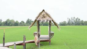 The huts built from wood and dry leaves with a wooden bridge on the rice fields That sway in the wind.  stock footage