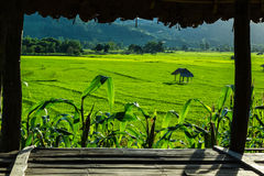 Huts in rice field at northern of Thailand. Royalty Free Stock Photos