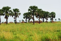 Huts in the village in Uganda, Africa. African huts and palm trees in the village in savannah at sunrise, Uganda. Africa Stock Photography