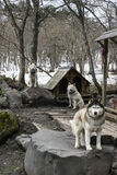 Hutsky hundkapplöpning Arkivfoton