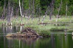 Hutte de castor sur un étang en Alaska Images libres de droits
