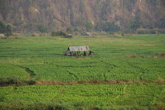 Hutte de paddy Images libres de droits