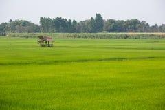 Hutte solitaire dans un domaine de riz Photos libres de droits