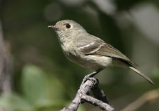 Hutton's Vireo. A Hutton's Vireo, photographed in Madera Canyon, Arizona Stock Photo
