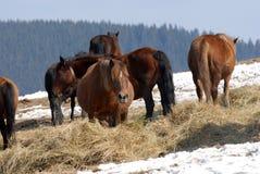Hutuli konie Obrazy Royalty Free