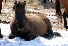 Hutuli-Pferde Stockfotos