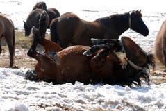 Hutuli-Pferde Stockfoto