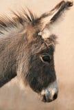 Huvud av åsnan Royaltyfria Foton