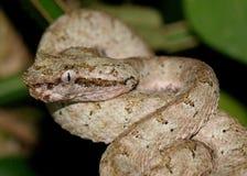 Huvud av ögonfransgrophuggormen, Bothriechis schlegelii arkivfoto