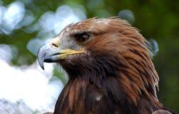 Huvud av örnen Royaltyfri Fotografi