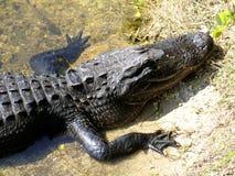 Huvud av alligatorn arkivbilder