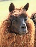 Huvud av alpaca Arkivbild
