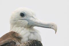 Huvud av barnsliga storartade Frigatebird Royaltyfria Foton