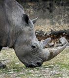 Huvud av den afrikanska noshörningen Arkivfoto