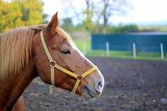 Huvud av den bruna hästen Arkivfoto