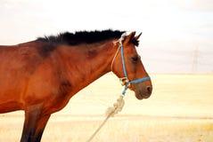 Huvud av den bruna hästen Arkivbilder