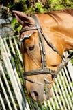 Huvud av den bruna hästen Fotografering för Bildbyråer