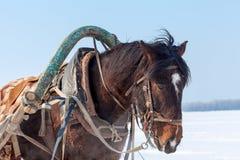 Huvud av den bruna hästen med tygeln och selet Royaltyfri Foto