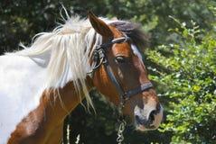 Huvud av den bruna och vita hästen arkivbild