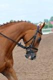 Huvud av den fullblods- hästen Royaltyfri Fotografi
