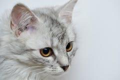Huvud av den gråa katten Arkivbild