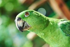 Huvud av den gröna papegojan Royaltyfria Bilder
