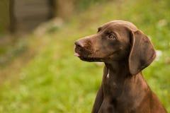 Huvud av den gulliga hunden royaltyfri foto