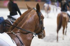 Huvud av den kastanjebruna unga hingsten i konkurrensen Arkivbild