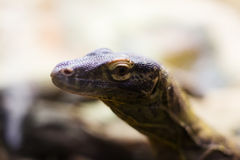 Huvud av den Komodo draken Arkivbild