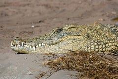 Huvud av den Nile krokodilen royaltyfria bilder