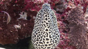Huvud av den prickiga moraycloseupen på bakgrundskorall som är undervattens- i havet av Maldiverna stock video