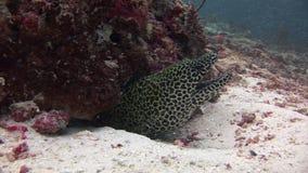 Huvud av den prickiga moraycloseupen på bakgrundskorall som är undervattens- i havet av Maldiverna lager videofilmer