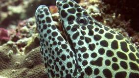 Huvud av den prickiga moraycloseupen på bakgrundskorall som är undervattens- i havet av Maldiverna arkivfilmer