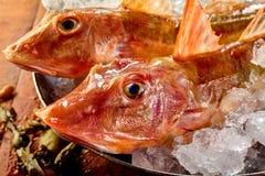 Huvud av den rå nya fisken för gurnard två Fotografering för Bildbyråer