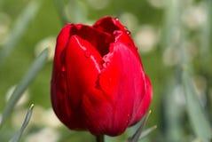 Huvud av den röda Tulip Flower Arkivbilder