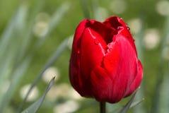Huvud av den röda tulpan Arkivbilder