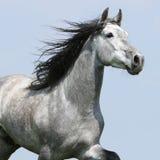 Carthusian häst som isoleras på blåttbakgrund arkivbilder